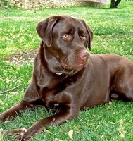 How to Train Your Chocolate Lab per Hunt Deer