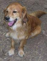 Circa cancro dei linfonodi in Cani