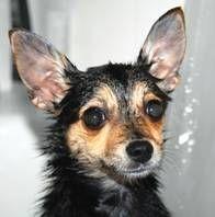 Come fare Dog Shampoo & Balsamo