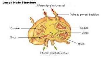 A proposito di linfonodi