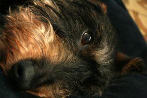 Segni e sintomi di un canino con danni renali o Lividi