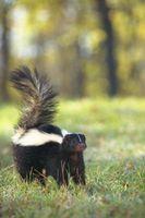 Come posso liberarmi di Skunk?