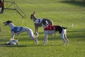 Quali sono le cause di un Greyhound a leccarsi le dita dei piedi?