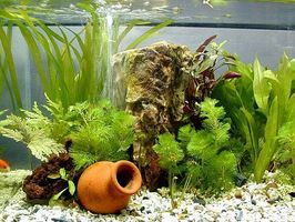 Come coltivare piante d'acquario