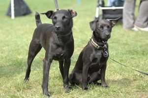 Malattie della pelle in cani e gli effetti a lungo termine di Cortisone Utilizzo
