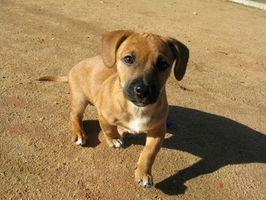 Canine Discharge urinaria