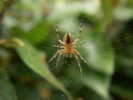 Segni e sintomi di un morso di ragno Infected