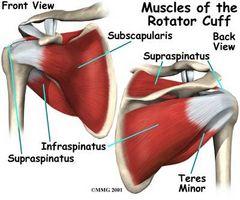 Quali sono i quattro muscoli della cuffia dei rotatori?