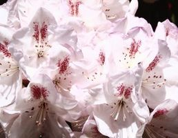 Rhododendron Avvelenamento