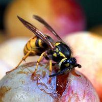 Rischi per la salute di giallo-e-nero Wasps