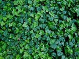 È un Poison Ivy Rash contagiosa?