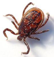Effetti malattia di Lyme sul cervello umano