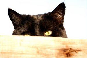 Rimedio naturale per acari dell'orecchio Cat