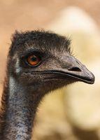 Emu olio fatti per perdita dei capelli
