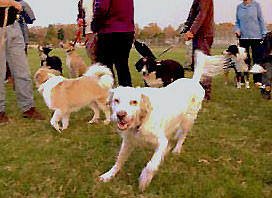 Preparare il proprio cane (e voi) per il parco del cane.  Serie A, parte quinta - Riconoscere Rough Play
