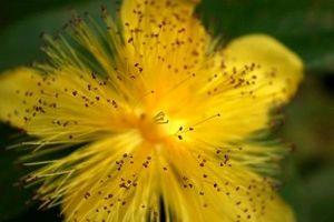Come usare erba di San Giovanni per curare le ferite e le contusioni