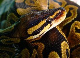 Trattamenti per acari su Snakes
