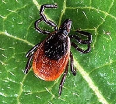2012 potrebbe essere un anno eccezionale per le zecche dei cervi e la malattia di Lyme