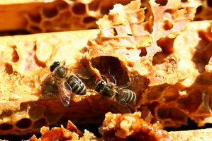 Bee Propolis & Menopausa