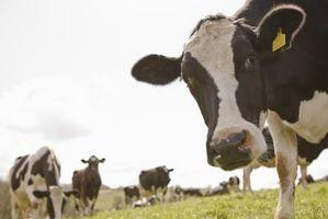 Effetti collaterali di testosterone su bovini da carne