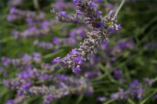 Il trattamento a base di erbe per la scabbia