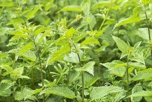 Come utilizzare Ortica come Allergy Medicina Naturale