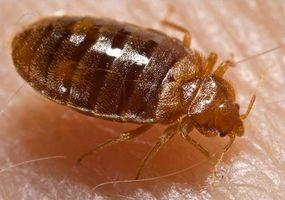 Come uccidere Bed Bugs con l'alcol