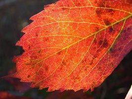Come utilizzare rimedi naturali per trattare Poison Ivy