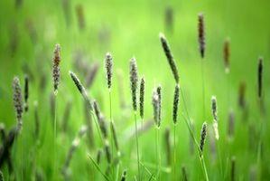 Allergie pianta comune