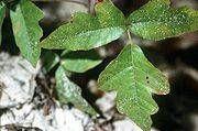 Veleno Oak Rash Sintomi