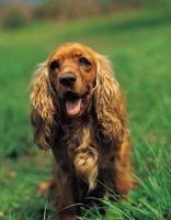 Rimedio naturale per strato a secco di un cane