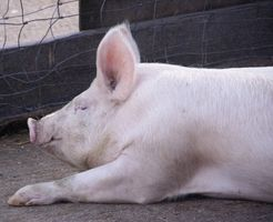 Come costruire un maiale casa