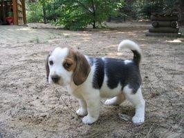 Come addestrare un cucciolo di Beagle a prendere una palla
