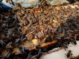 Informazioni sui Bee Propolis