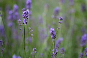 Qual è la differenza tra fragranza Oli e oli essenziali?