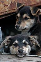Iniezione contraccettiva per i cani