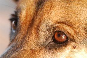 Dog Verruche Eye