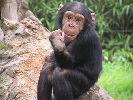 Qual è la differenza tra una scimmia e una scimpanzé?