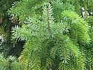Come utilizzare aghi di pino per raffreddori e tosse