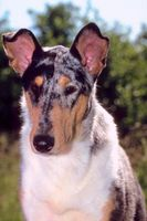 Come Groom un Smooth Collie