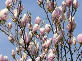 Magnolia Officinalis Effetti collaterali