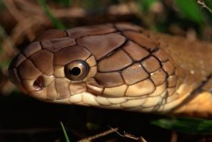 La differenza tra un morso di animale e un morso di serpente