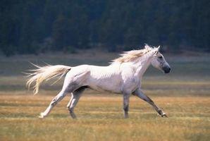 Che cosa si intende quando si dice che un cavallo Will not Canter?