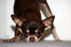 Come trattare un stomaco nervoso in un Chihuahua