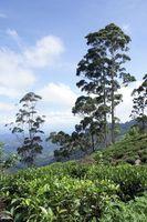 Tea Tree Oil Effetti collaterali in neonati