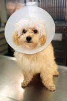 Cause e cure per perdita dei capelli in Cani