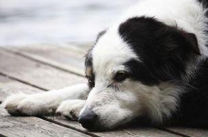 Perché è il mio cane tosse e vomito?