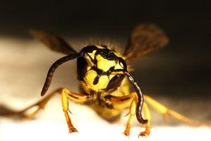 Quali sono i trattamenti per Yellow Jacket e punture di api?