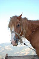 Sintomi Horse Lice