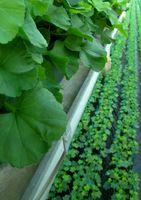 Tessuto vegetale tecniche di coltura